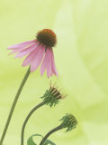 Progressive Opening of Echinacea Flowers
