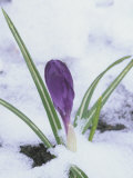 Crocus Flowering in the Snow (Crocus Vernus)