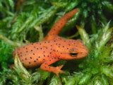 Eastern Newt Eft or Terrestrial Stage (Notophthalmus Viridescens)  Eastern North America