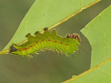 Saturnid Moth Fourth Instar Caterpillar Eating a Leaf (Copaxa Decreasens) Ecuador