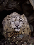 Snow Leopard  Panthera Uncia  an Endangered Species  Asia