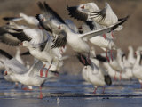 Snow Geese Flock Taking Off  Chen Caerulescens  Bosque Del Apache  New Mexico  USA