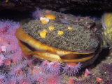 Rock Scallop (Hinnites Giganteus)  Pacific Coast of North America
