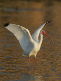 White Ibis  Eudocimus Albus  with Wings Raised  Southern USA