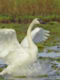 Trumpeter Swan Flapping its Wings  Cygnus Buccinator  Alaska  USA