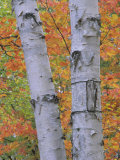 White Birch Forest in Autumn  Betula Papyrifera  Eastern USA