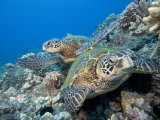 Green Sea Turtles Swimming over a Coral Reef (Chelonia Mydas)  an Endangered Species  Hawaii  USA