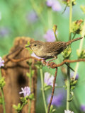 House Wren (Troglodytes Aedon)  Eastern North America