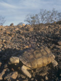 Desert Tortoise (Gopherus Agassizii) a Threatened Species  Mojave Desert  California  USA