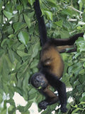 Mantled Howler Monkey Feeding on Vegetation  Alouatta Palliata  Costa Rica