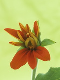 Opening of a Mexican Sunflower (Tithonia Rotundifolia) Flower