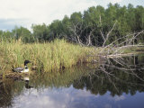 Common Loon Nesting