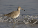 Willet Walking Along a Beach  Catoptrophorus Semipalmatus  De Soto Park  Tampa  Florida  USA