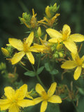 St John&#39;s Wort  Hypericum Perforatum  North America