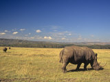 White Rhinoceros Grazing on the Savanna  Ceratotherium Simum  an Endangered Species  Kenya  Africa