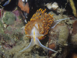 Nudibranch or Sea Slug (Hermissendra Crassicornis)  California  Usa  Pacific Ocean