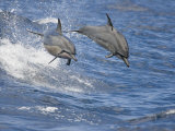 Spinner Dolphins (Stenella Longirostris) Leaping into the Air at the Same Time  Hawaii  USA