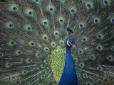 Male Peacock Courtship Display  Pavo Cristatus