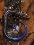 Five-Lined Skink  Eumeces Fasciatus   North America