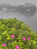 Seaside Roses  Rosa Rugosa  and Wharf