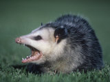 Opossum Showing its Teeth (Didelphis Marsupialis)  USA