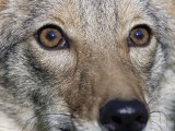 Coyote Face (Canis Latrans)  Close-Up of its Eyes