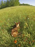 White-Tailed Deer Fawn at Rest in a Meadow  Odocoileus Virginianus  North America