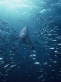 Blue Shark (Prionace Glauca) with a School of Jack Mackerel
