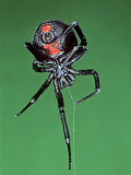 Female Black Widow Spider  Latrodectus Mactans