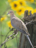 Mourning Dove Sitting on a Barbed Wire Fence (Zenaida Macroura)  North America