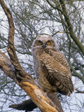 Great Horned Owl Young or Owlet  Bubo Virginianus  Arizona  USA