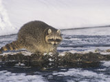 Raccoon Fishing in a Winter Forest Stream (Procyon Lotor)  North America