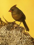 A Female Northern Cardinal (Cardinalis Cardinalis) on a Sunflower Seed Head  Eastern North America