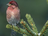Male Purple Finch (Carpodacus Purpureus)  the State Bird of New Hampshire  USA