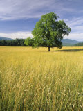 Single Tree in a Field  Cades Cove  Great Smoky Mountains National Park  Tennessee  USA