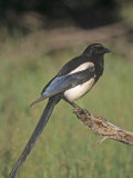 Black-Bellied Magpie  Pica Hudsonia  North America