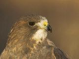 Female Swainson's Hawk Head  Buteo Swainsoni  USA