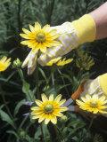 Gardener Cutting Black-Eyed Susans Flowers (Rudbeckia Hirta)  Prairie Sun Variety
