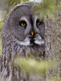 Great Gray Owl Face  Strix Nebulosa  North America