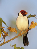 Yellow-Billed Cardinal (Paroaria Capitata)  Brazil  South America