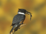 Belted Kingfisher (Ceryle Alcyon) with a Captured Fish  North America