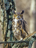 Great Horned Owl (Bubo Virginianus)  North America