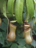 Pitcher Plant  Nepenthes Ventricosa