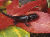 Northwestern Salamander  Ambystoma Gracile  California  USA