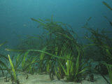 Eelgrass  Zostera Marina  a Marine Flowering Plant  California  Usa  Pacific and Atlantic Oceans