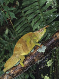 Mountain Chameleon  Chamaeleo Montium  Resting on a Branch in Camaroon  Africa