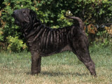 Shar-Pei Variety of Domestic Dog