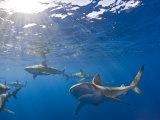 Galapagos Sharks (Carcharhinus Galapagensis)  Oahu  Pacific Ocean  Hawaii  USA
