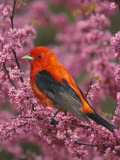 A Male Scarlet Tanager  Piranga Olivacea  in a Flowering Redbud Tree  Eastern USA
