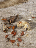 Robin (Turdus Migratorius) Scat with Juneberry Seeds  an Example of Seed Dispersal by Animals
